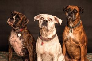 Si los perros pudieran hablar ... 6 mitos que habrían desmentido