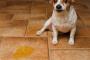Las causas de la micción frecuente y los accidentes urinarios en perros