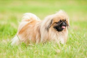 Hernia perineal en perros