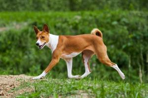 Inflamación del estómago a largo plazo en perros