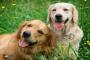 ¿Cuáles son los beneficios de tener dos perros?