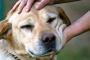 Sistema inmune débil debido al desorden hereditario en perros