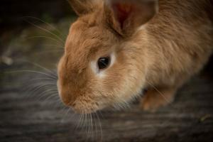 Consideraciones especiales para conejos