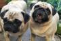 Úlceras cutáneas y despigmentación (relacionadas con el sistema inmunológico) en perros