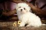 Deficiencia de coagulación (heredada) en perros
