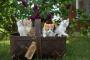 Reacción tóxica a las plantas de Lily House en gatos