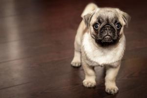 Cómo dejar de lloriquear en perros