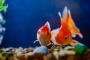 Dropsy: hinchazón excesiva en los peces debido a la insuficiencia renal