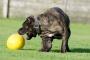 5 razones para jugar es vital para la salud de su perro, sin importar su edad.