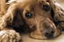 10 problemas urinarios en perros