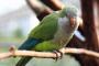 Aves mascota que no son muy grandes y pueden hablar