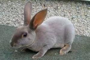 Infestación de ácaros en el oído en conejos