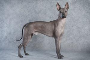 Inflamación de próstata y abscesos en perros