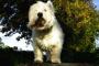 Temblores en perros: síntomas, causas y tratamientos.