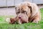 La salud dental del perro: los huesos carnosos crudos mantendrán los dientes de su perro limpios y saludables
