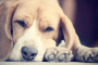 ¿Está roncando tu perro? ¿Todos los perros roncan?