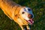 ¿Puede mi perro contraer la enfermedad de Alzheimer?