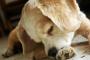Remedios caseros para evitar o detener a su perro de lamer sus patas