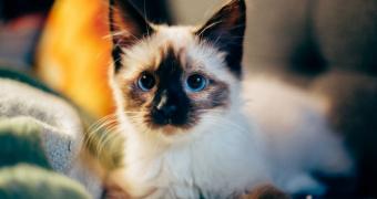 Carcinoma de células escamosas del plano nasal en gatos