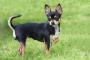 ¿Son las paletas de luxación que reducen la velocidad de su enérgico Chihuahua?
