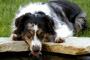 Infección por E. coli en perros