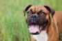 Síntomas de colitis en perros