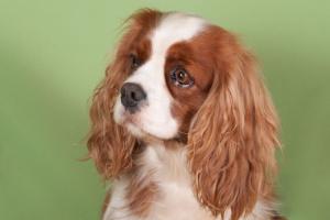 Infertilidad en perros hembra