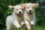 Infección de tenia de Fox (cisticercosis) en perros