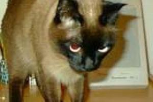 Células linfoides cancerosas en los pulmones de los gatos