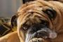 ¿Qué hacer si su perro vomita?