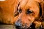 Azatioprina para perros: usos, dosis y efectos secundarios.