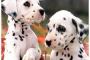 Advil envenenamiento en perros