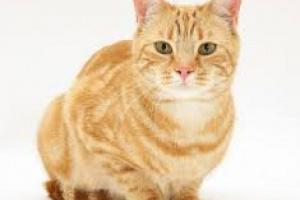 Trastorno cerebral debido a enfermedad hepática en gatos