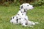 Músculo temblor involuntario en perros