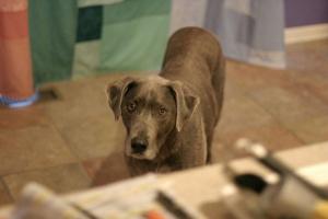 Coriorretinitis en perros