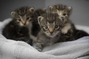Encefalitis secundaria a la migración parasitaria en gatos