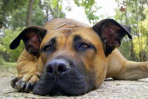 Hematoma en perros