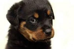 Cáncer de nariz (adenocarcinoma) en perros