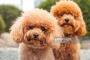 Poodle/Caniche Miniatura