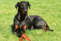 Enfermedad muscular hereditaria no inflamatoria en perros
