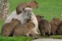 Familia de capibaras irrumpen en una fábrica