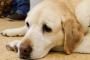 Síndrome serotoninérgico en perros: síntomas, causas y tratamientos.