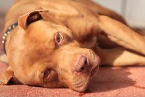 ¡Ayuda! Mi perro tiene una enfermedad autoinmune. ¿Qué es?