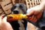 ¿Por qué el maíz es bueno para mi perro?