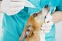 Ojos rojos (epiescleritis) en perros