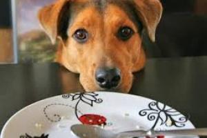 ¿Perro lloriqueando cuando su dueño come?