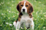 Acumulación de aire entre el pecho y los pulmones en perros