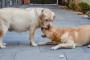 ¿Cuánto tiempo llevan los perros embarazadas y qué sucede durante el embarazo?