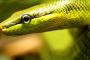 Problemas con las serpientes y la mudanza de piel: Retención de piel en los ojos