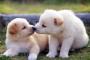 Cómo limpiar los oídos de un cachorro